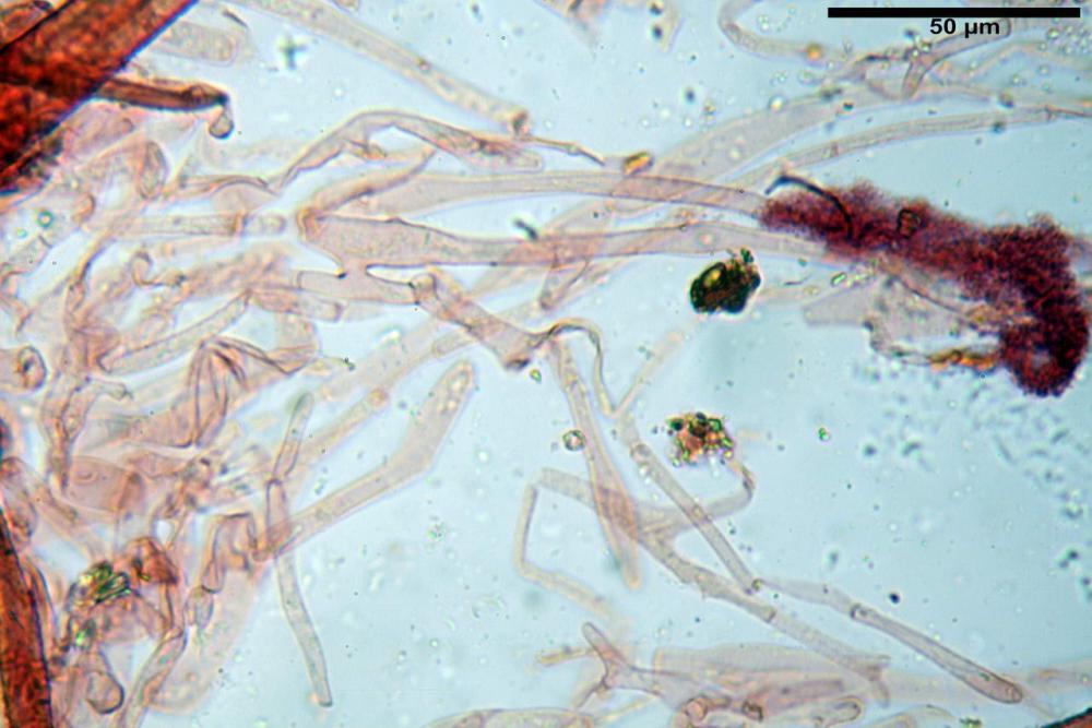 Coprinopsis picacea 6790 03.jpg