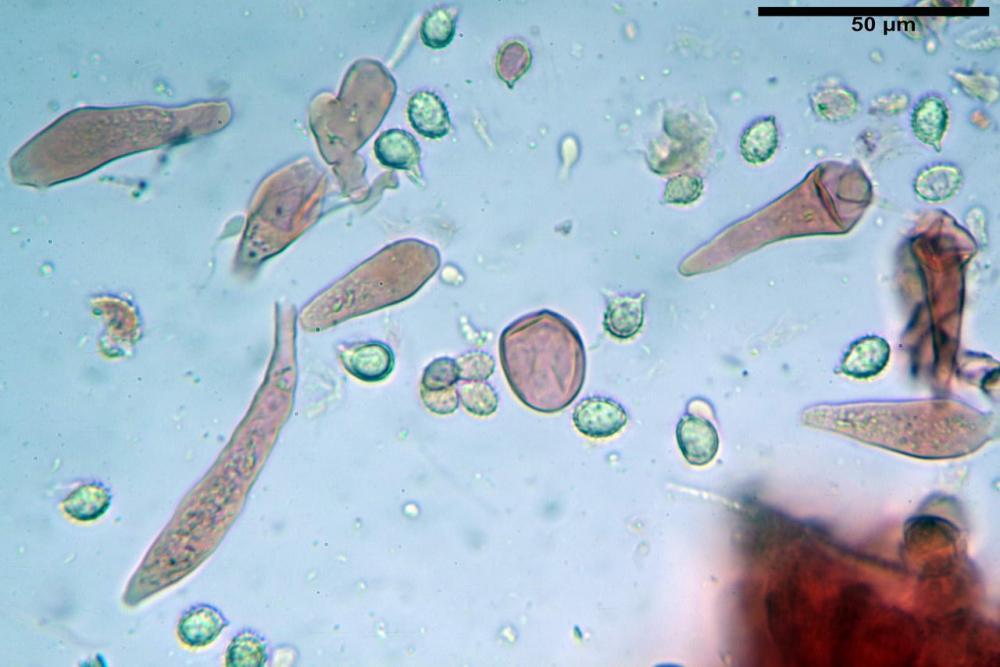 Russula graveolens 6800 33.jpg