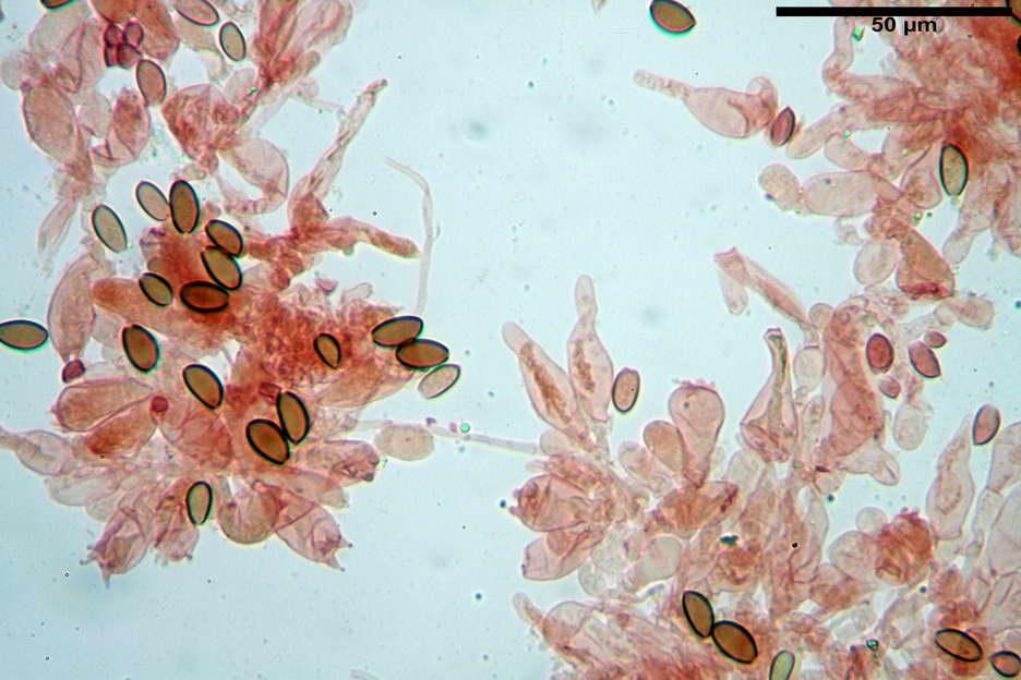 pholiotina nemoralis var nemoralis 4834 32.jpg