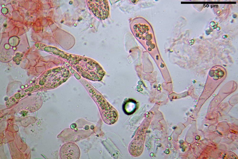 amanita ceciliae 26.jpg
