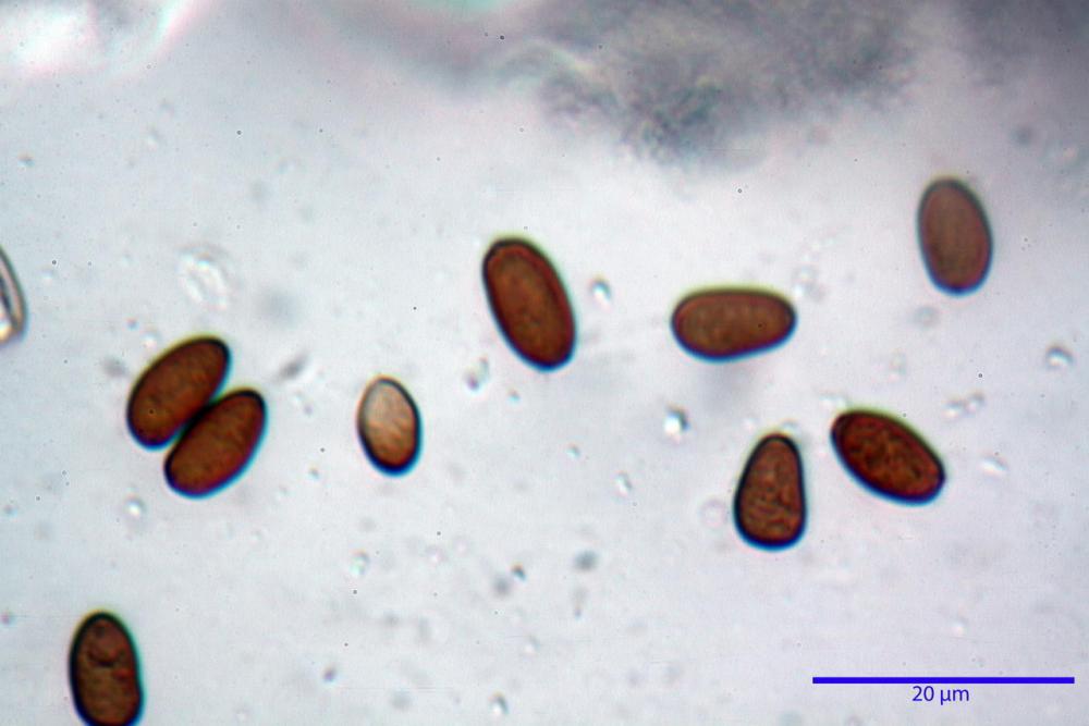 Psathyrella olympiana 50.jpg