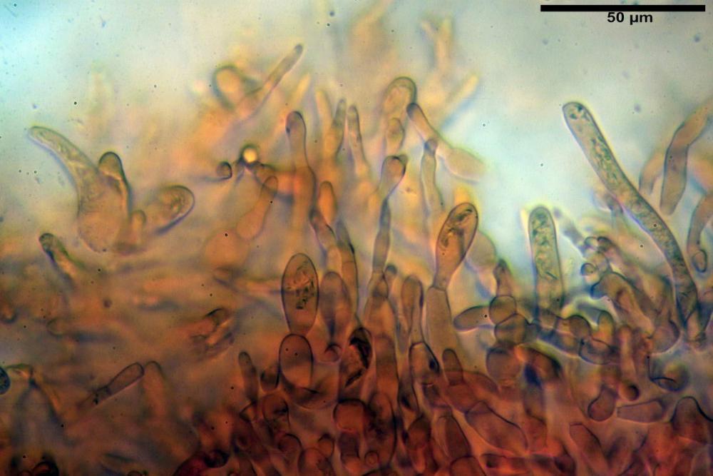 Russula faustiana0009.jpg