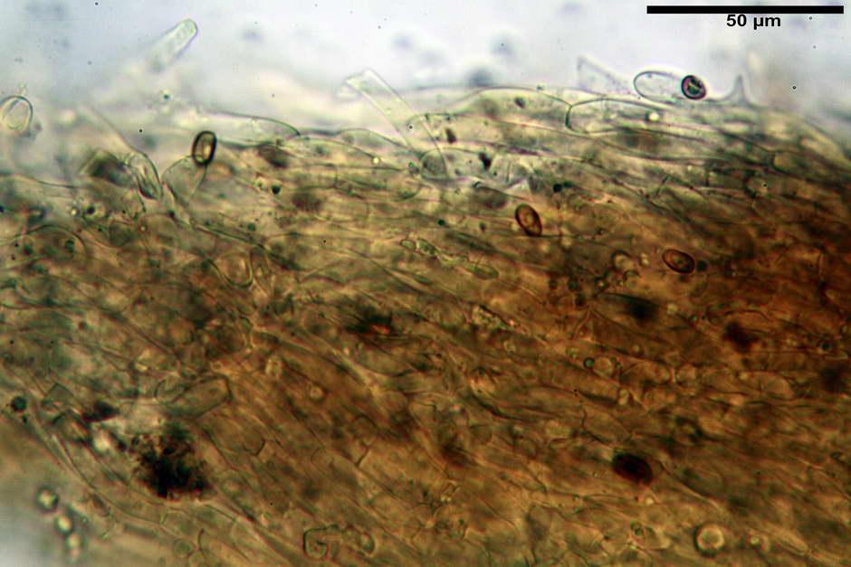 pholiota tuberculosa 4736 09.jpg