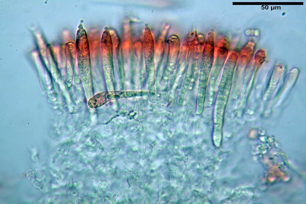 russula farinipes 5001 34.jpg