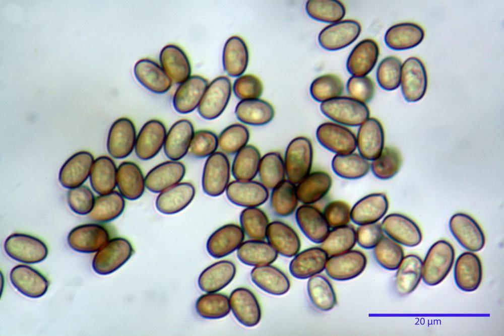 agaricus bresadolanus spore.jpg