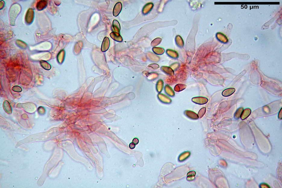 pholiotina nemoralis var nemoralis 4834 25.jpg