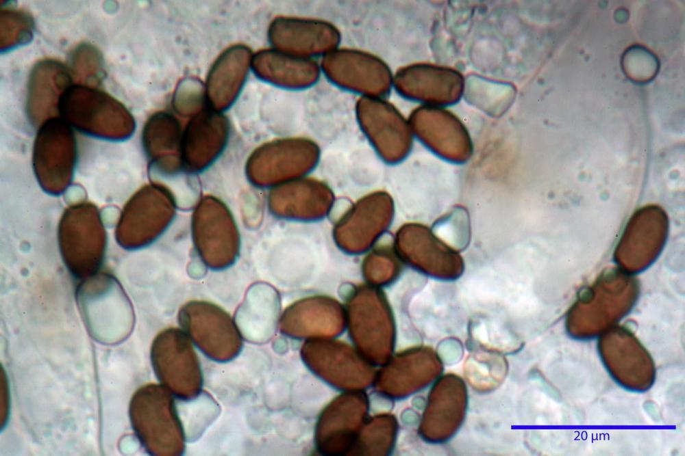 Psathyrella olympiana 55.jpg