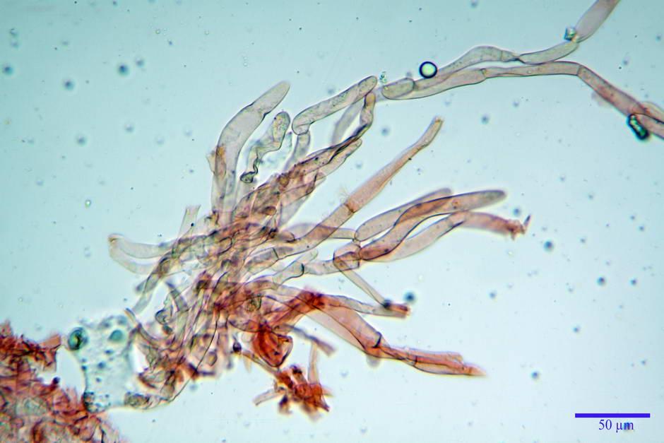 lepiota griseovirens 4598 09.jpg