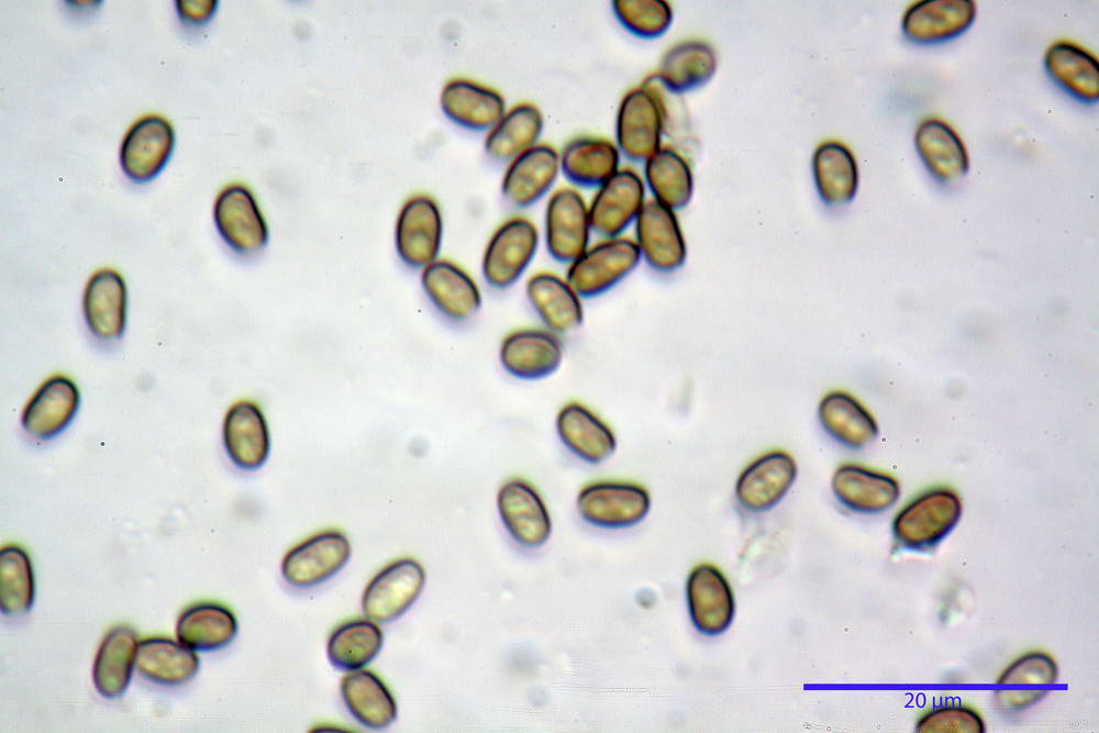 psathyrella hydrophila 37.jpg