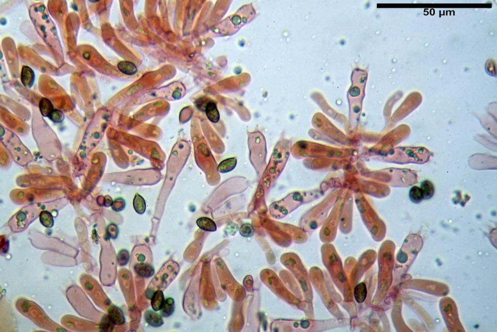 Phaeocollybia lugubris 6657 52.jpg
