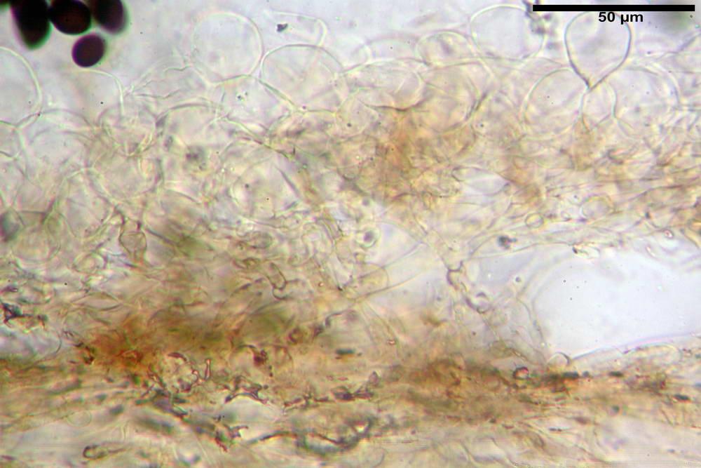 panaeolus papilionaceus var papilionaceus 5070 11.jpg
