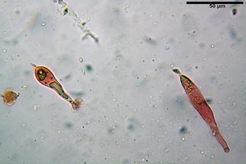 Russula tinctipes 7355 23.jpg