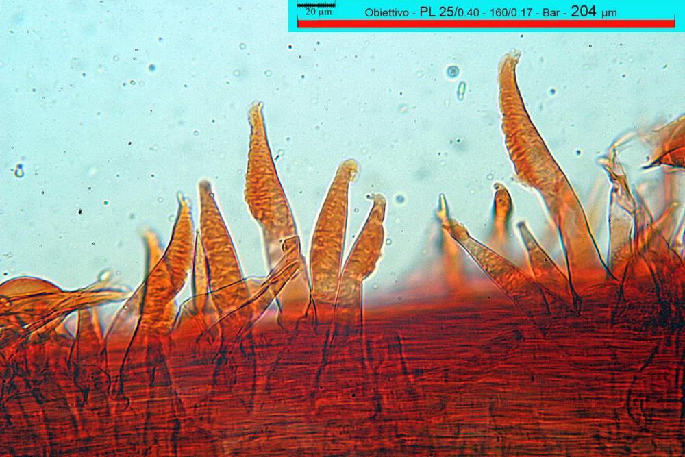 macrocystidia cucumis caulocistidi.jpg