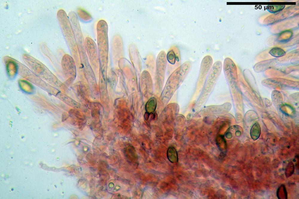 Hebeloma quercetorum 7370 21.JPG
