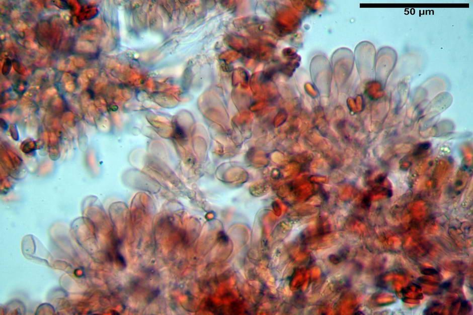 lepiota griseovirens 4598 16.jpg