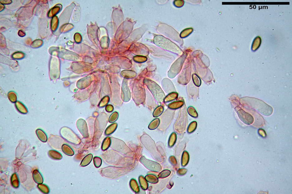 pholiotina nemoralis var nemoralis 4834 35.jpg