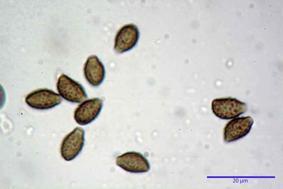 lacrymaria lacrymabunda 4754 53.jpg