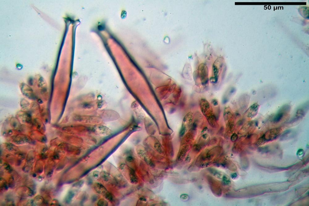 pluteus sandalioticus 48 .jpg