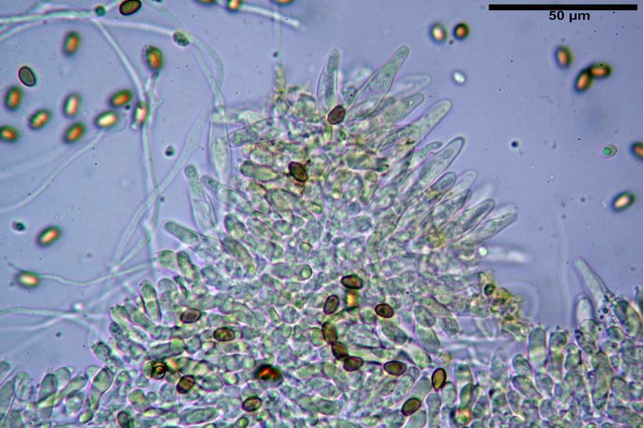 pholiota higlandensis 4837 12.jpg