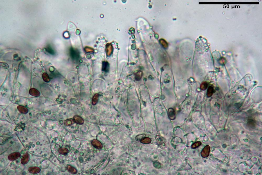 Psathyrella olympiana 27.jpg