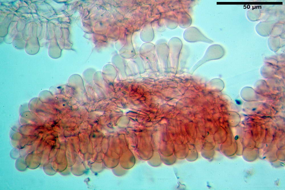 coprinopsis 35.jpg
