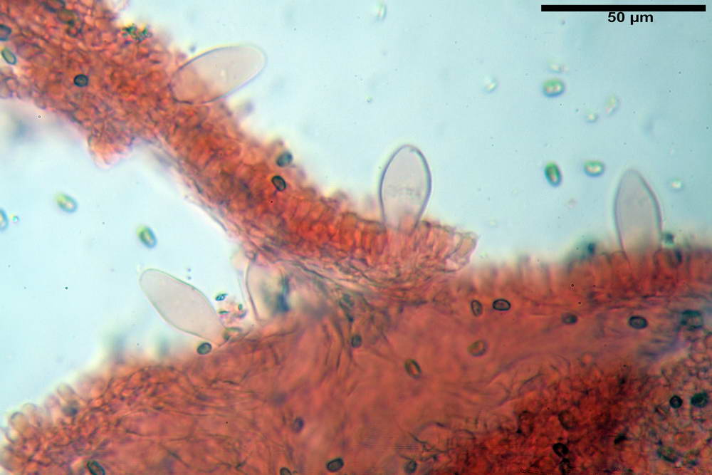 psathyrella hydrophila 30.jpg