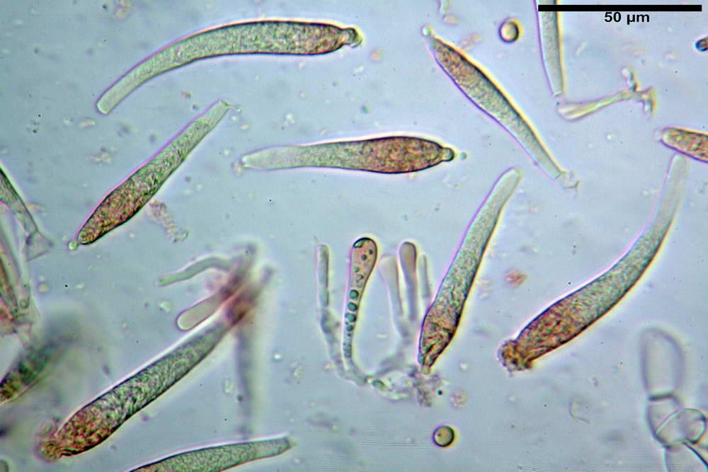 russula farinipes 5001 51.jpg
