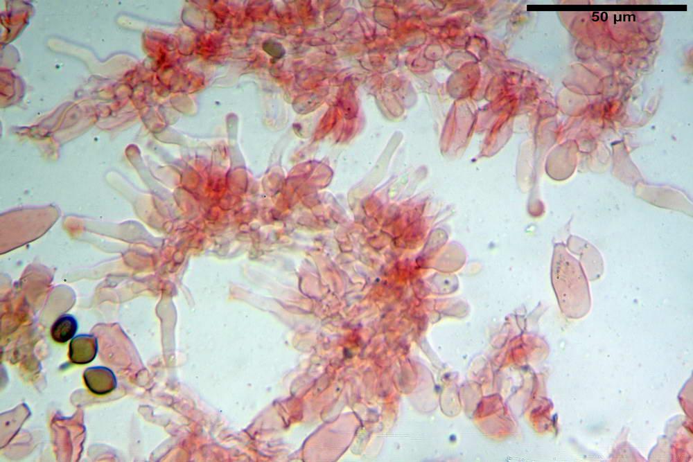 panaeolus acuminatus014.jpg