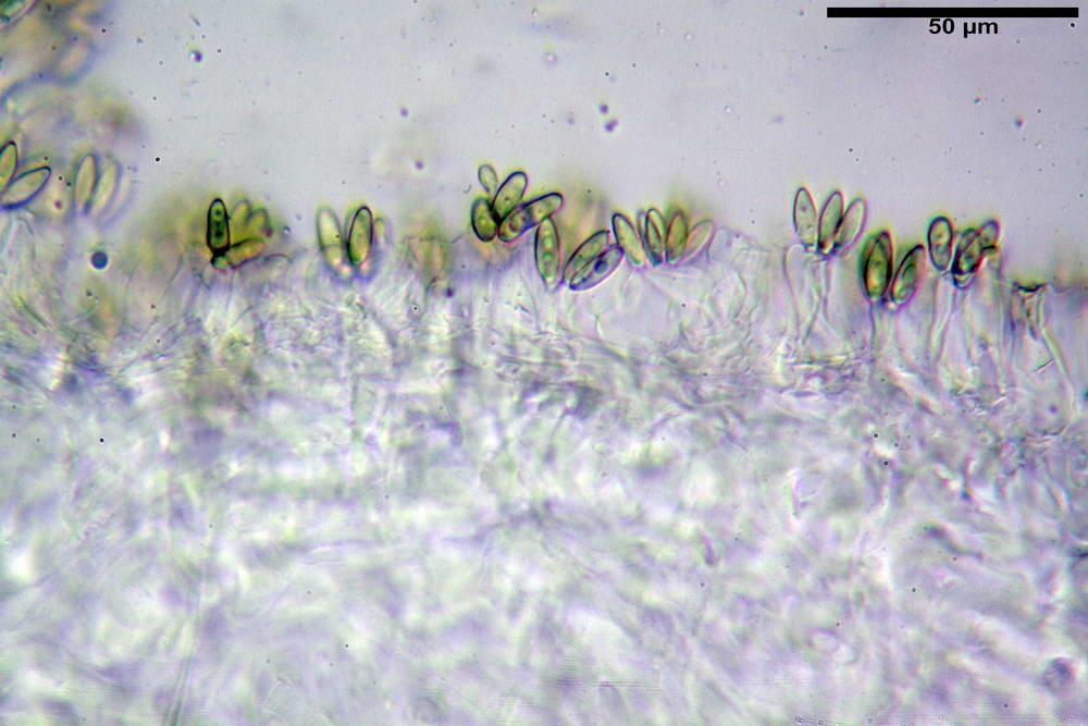 hysterangium coriaceum 5056 12.jpg
