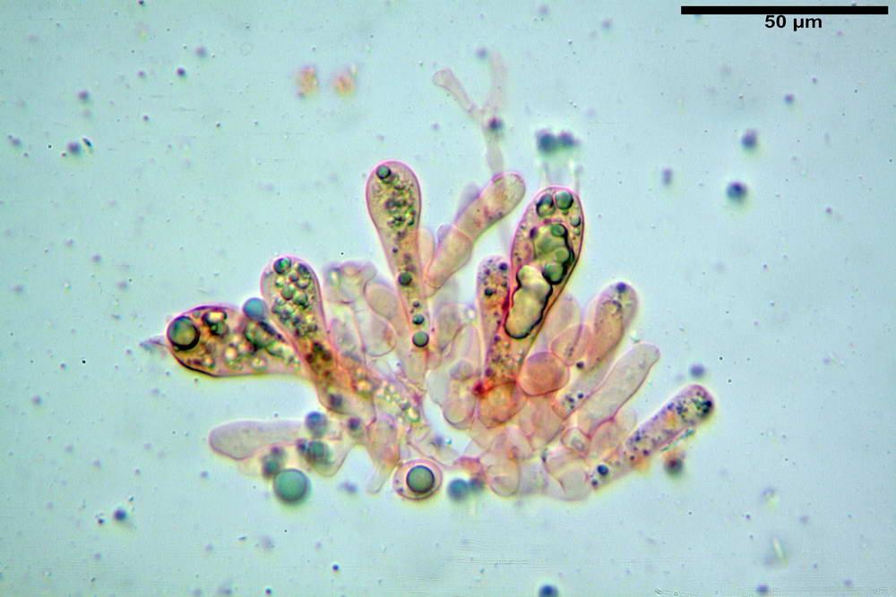 amanita ceciliae 23.jpg