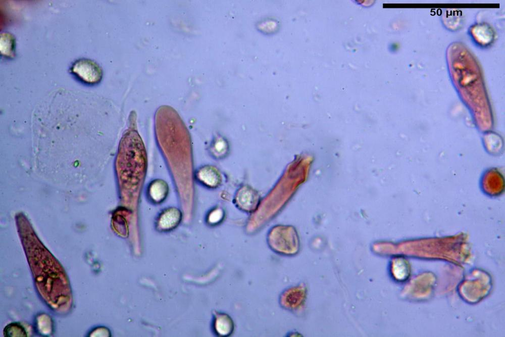 Russula graveolens 6800 34.jpg