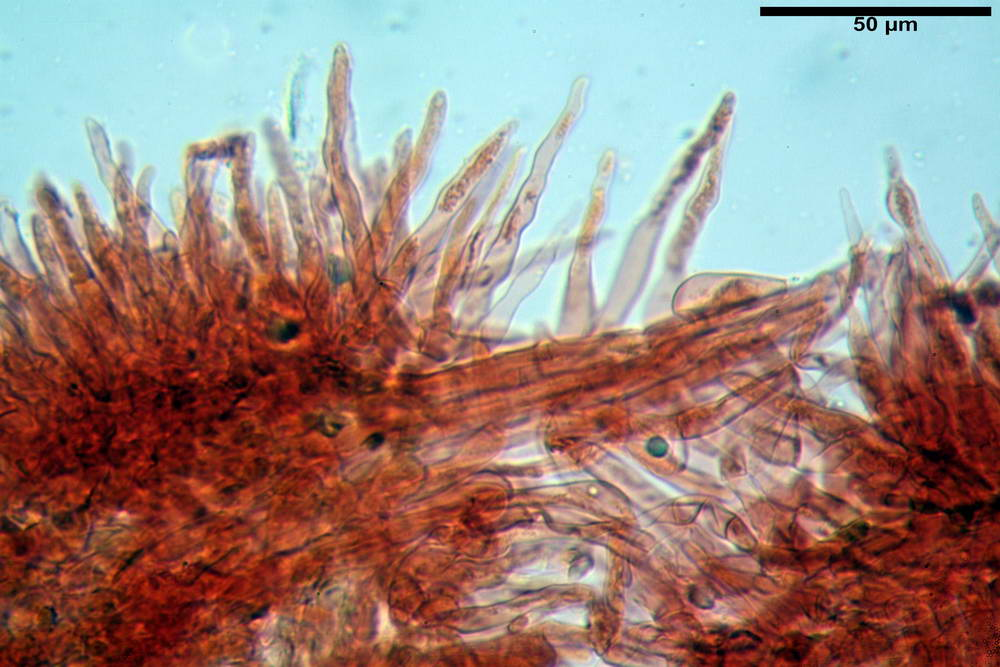 flammulaster carpophilus var carpophilus 4860 45_resize.jpg