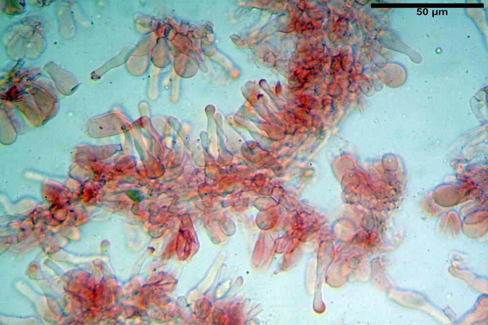 panaeolus acuminatus013.jpg