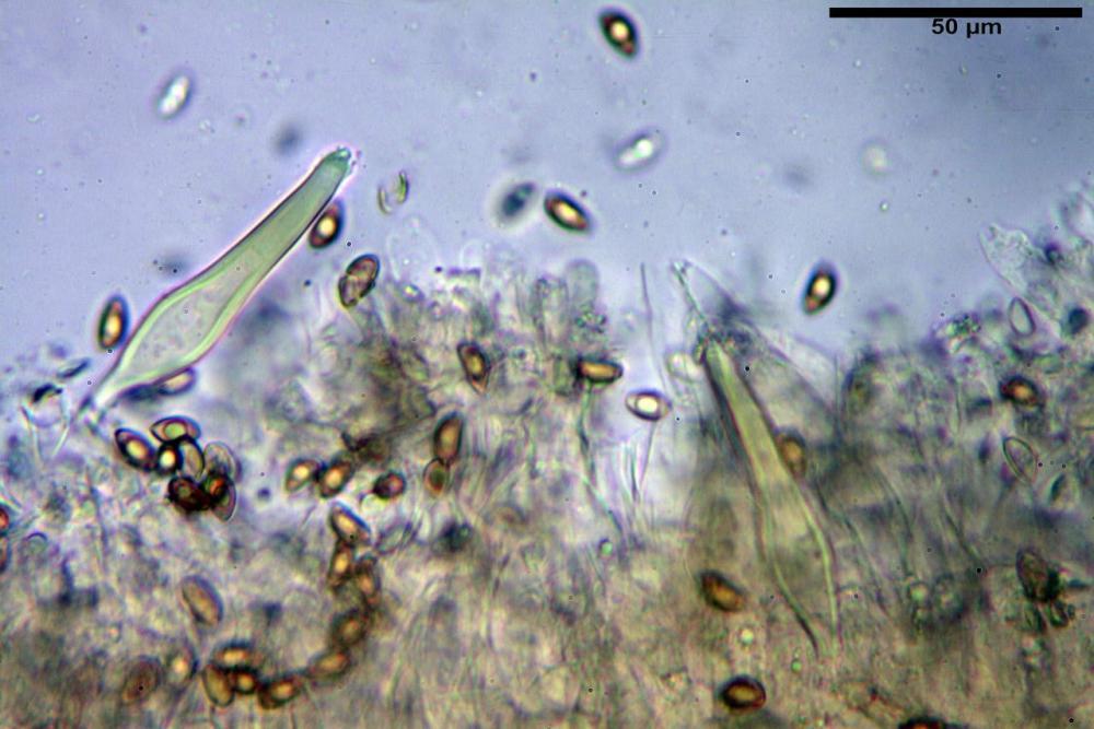 Inocybe flocculosa var crocifolia 7068 40.jpg