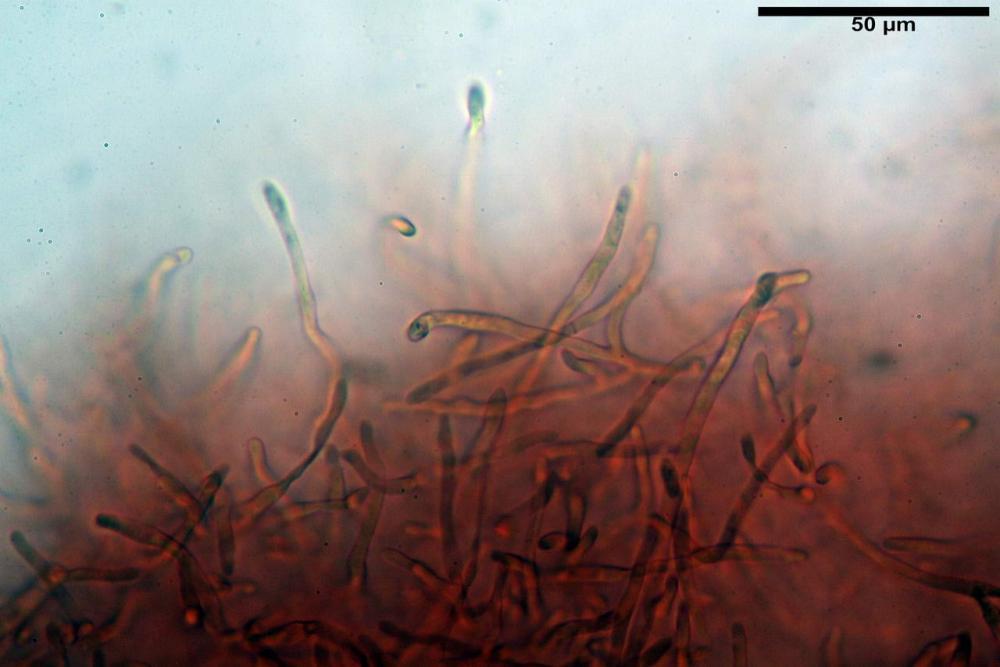 Russula messapica 7720 06_resize.JPG