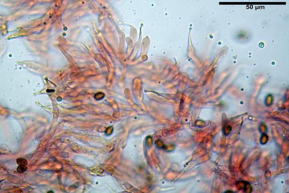 Phaeocollybia lugubris 6657 38.jpg