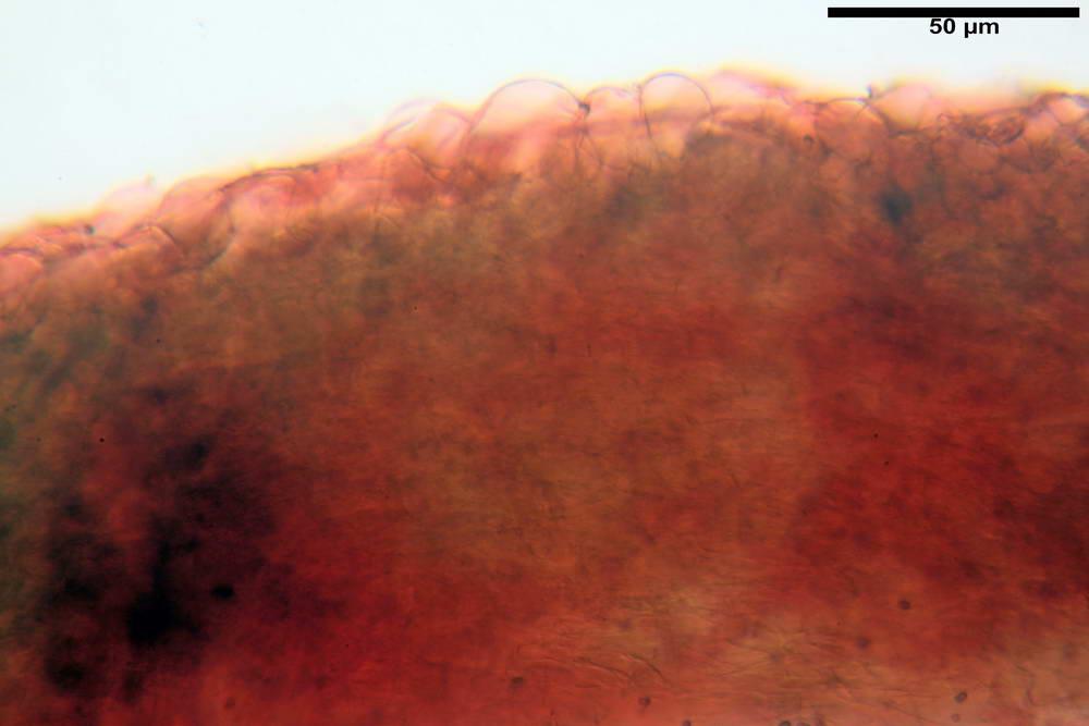 psathyrella hydrophila 08.jpg