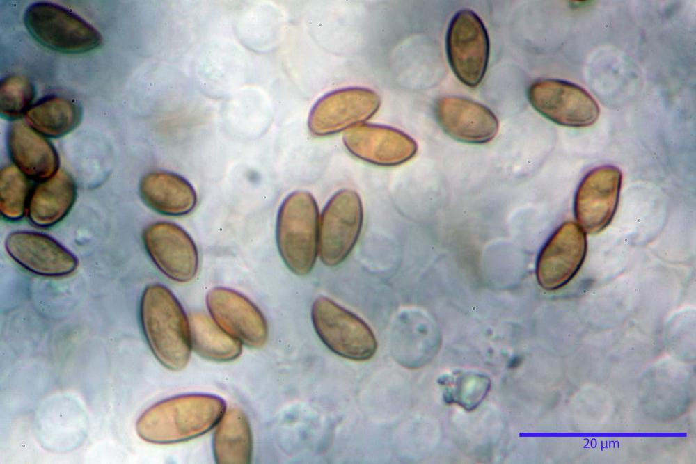Pholiotina dasypus 7474 17.JPG