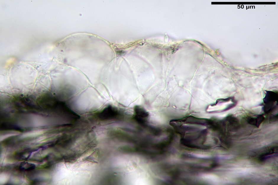 panaeolus papilionaceus var papilionaceus 4682 docx 16.jpg