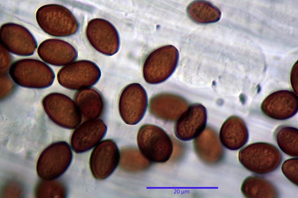 conocybe albipes var albipes spore KOH.jpg