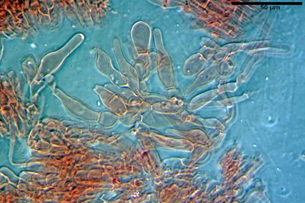 coprinopsis 52.jpg