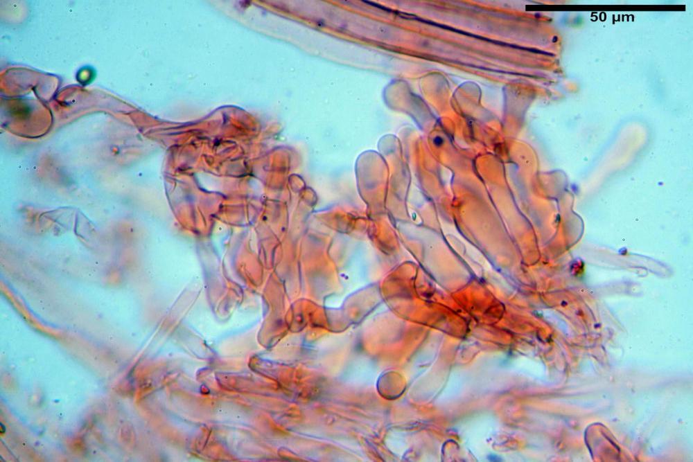 Pholiotina dasypus 7474 28.JPG