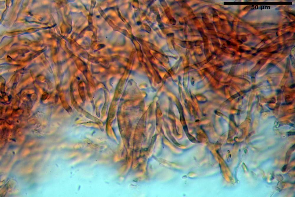 Russula graveolens 6800 14.jpg