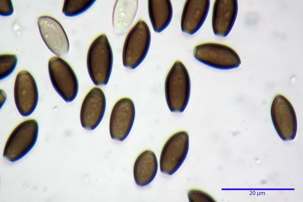 coprinopsis 43.jpg