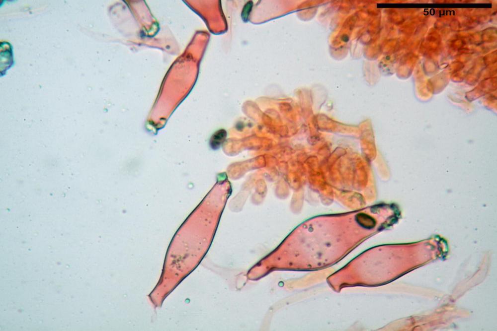 Psathyrella olympiana 46.jpg