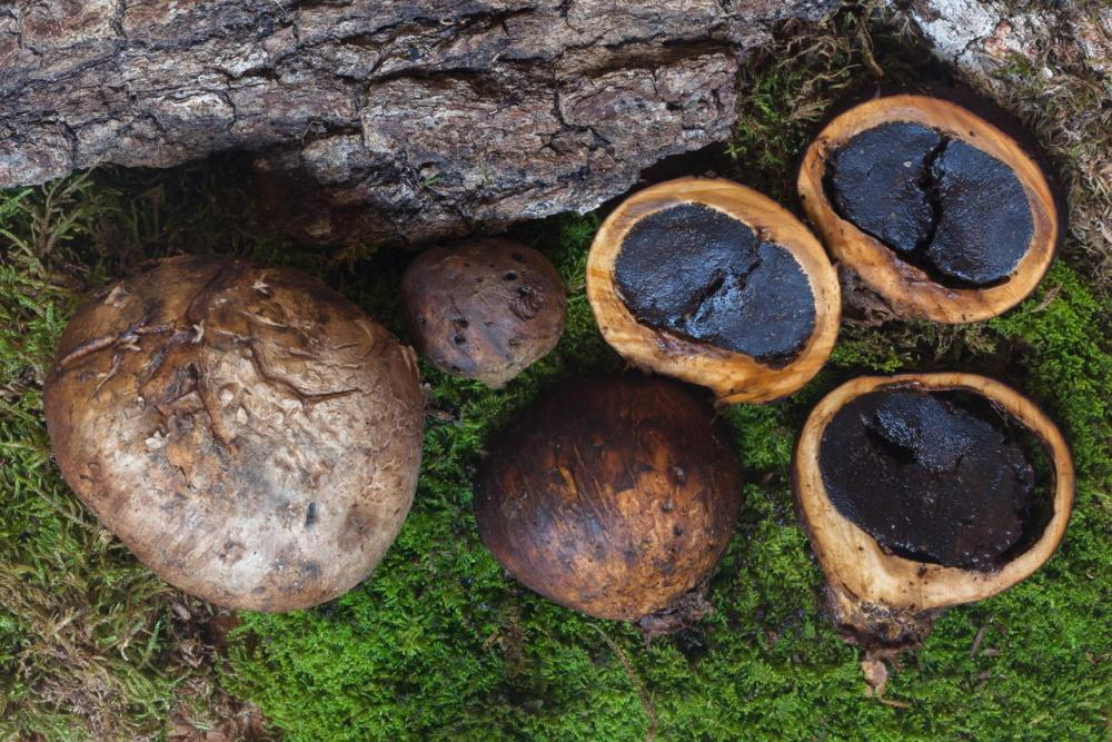 Scleroderma polyrizum 5466 04Scleroderma polyrizum 5466 04.jpg