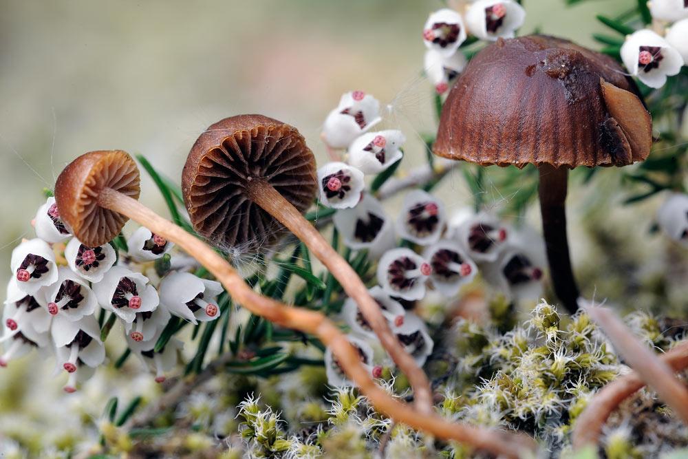 psilocybe montana var montana 5058 03.jpg