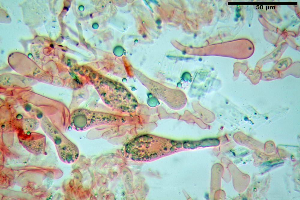 amanita ceciliae 33.jpg