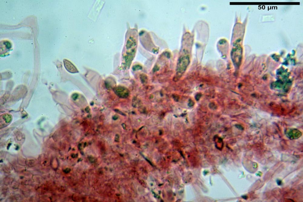 Hebeloma quercetorum 7370 36.JPG