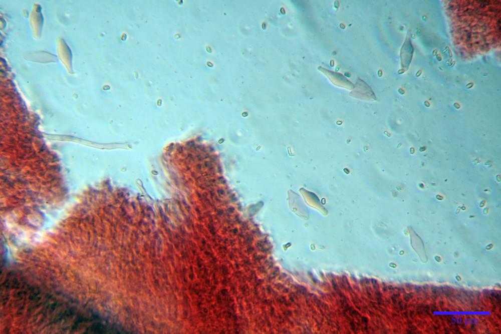 psathyrella hydrophila 27.jpg